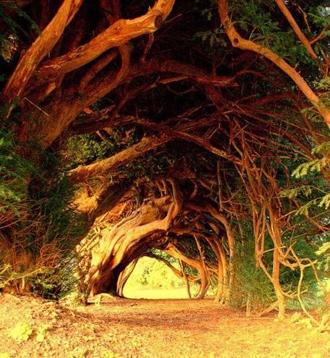 yew-tree-tunnel.jpg